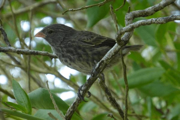 Pinzón de Galápagos