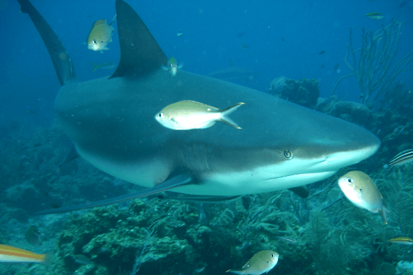 Tiburón de arrecife